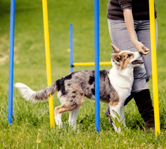 Dog learning to go through backyard weave poles