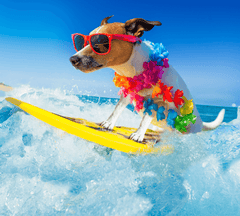 Dog surfing with sunglasses on.