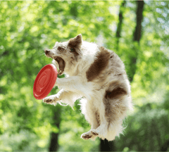 Collie catching a frisbee in the air.