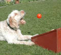 Dog catching ball from box.