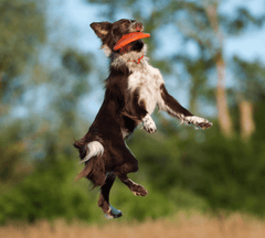 Dog catching frisbee in the air.