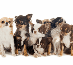 A group of Chihuahuas