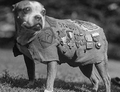 Sergeant Stubby in blanket vest and all his metals