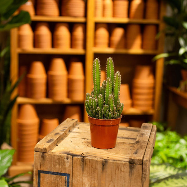 Cactus 'Fairy castle' - Terracotta Plant Shop