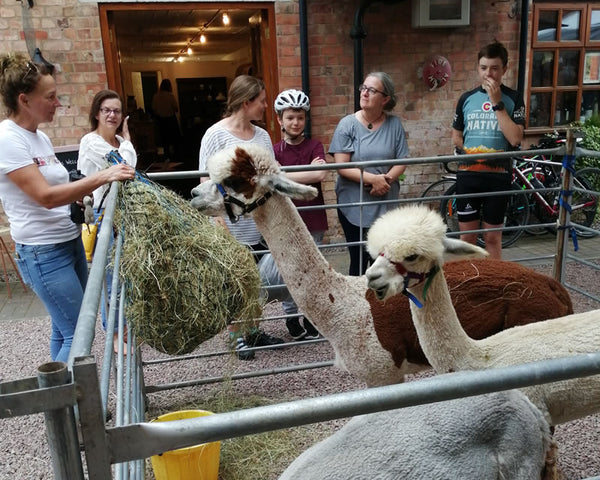 Alpaca day at FibreHut Blackminster Evesham