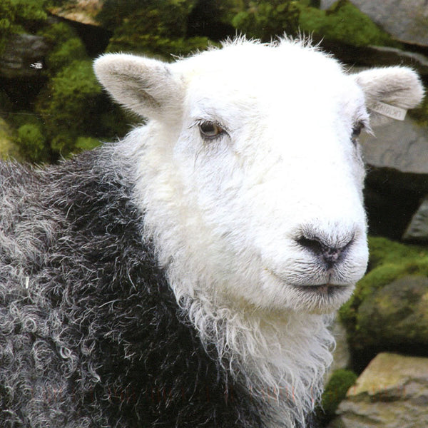 Herdwick natural grey
