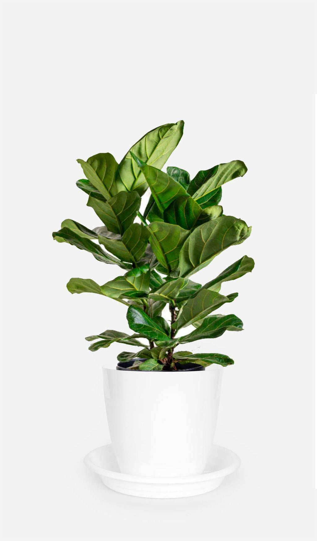 Fiddle Leaf Fig - Growcerys Shop