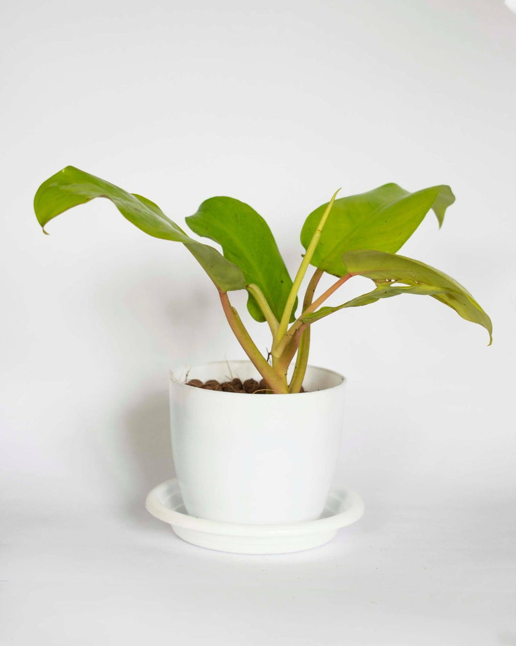 Philodendron Erubescens Gold - Growcerys Shop