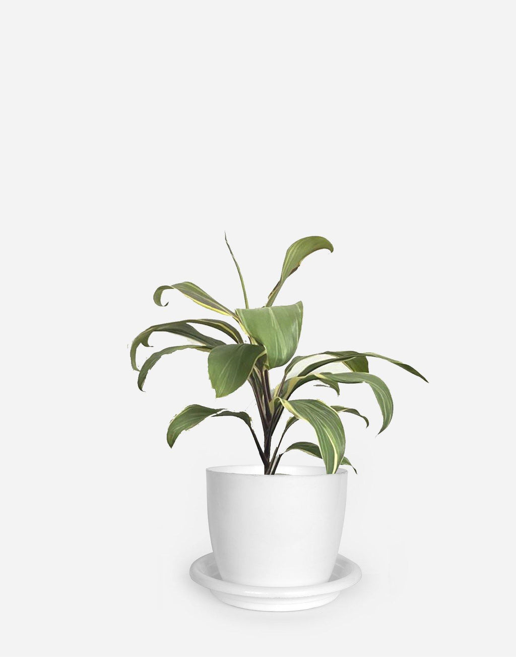Dracaena White - Growcerys Shop