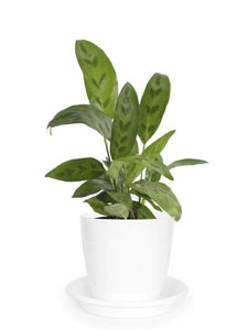 Calathea Faux Green - Growcerys Shop