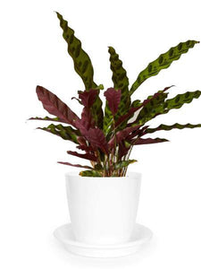 Calathea Rattlesnake - Growcerys Shop