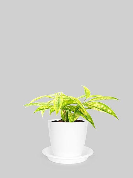 Dracaena Golden Milky - Growcerys Shop