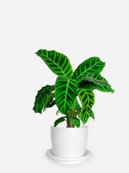 Calathea Zebrina - Growcerys Shop