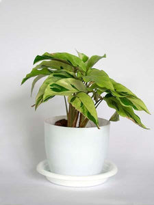Calathea Louisae Thai Beauty - Growcerys Shop