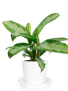 Aglaonema Silver Bay - Growcerys Shop