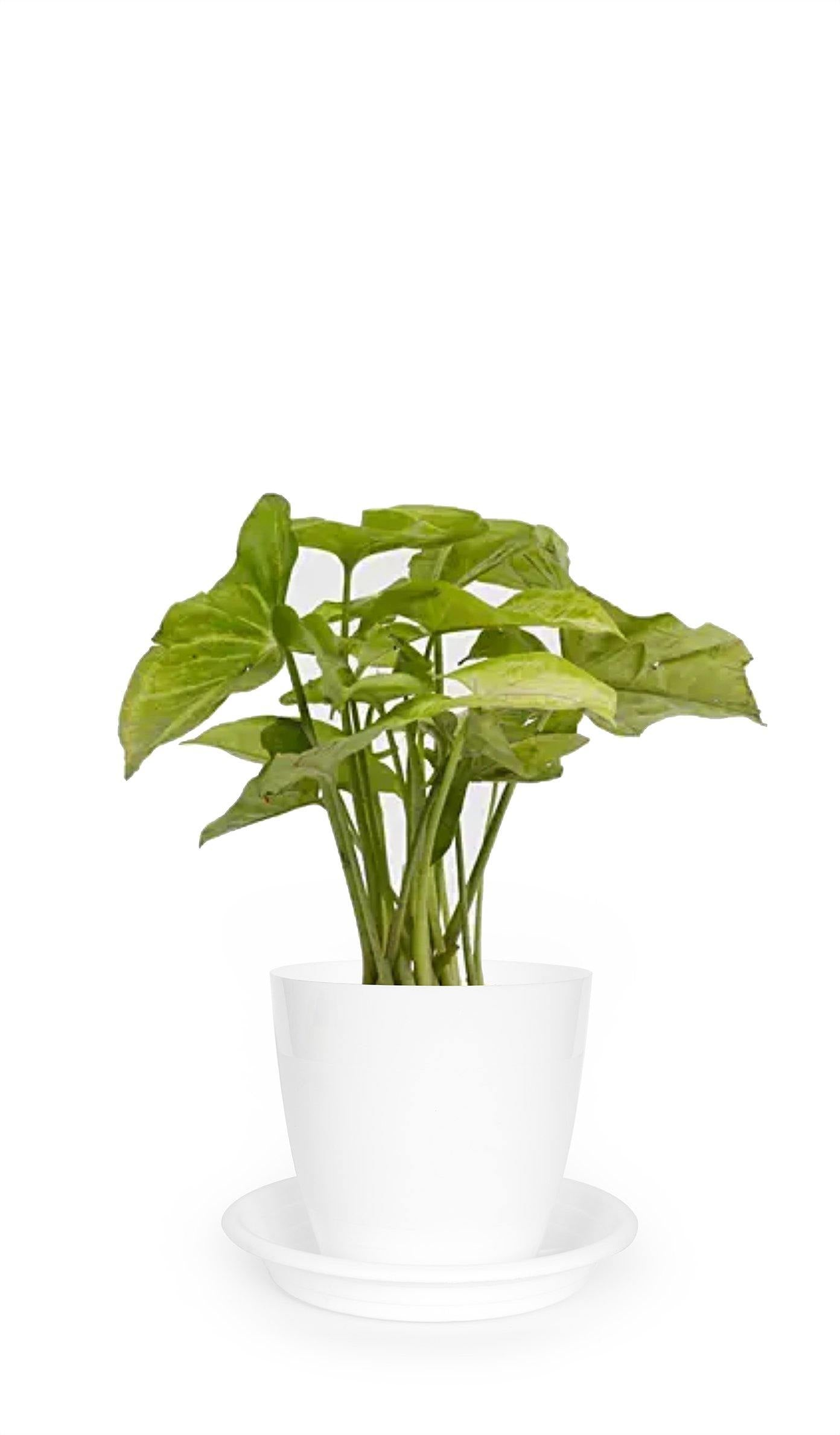 Syngonium Podophyllum (Green) - Growcerys Shop