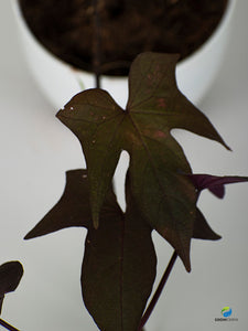 Black sweet potato vine