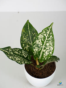 Aglaonema Emerald Star