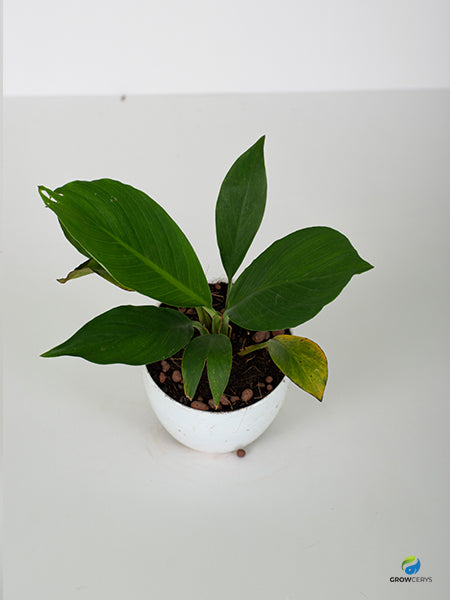 Peace lilly - small