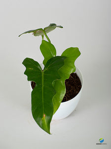 Philodendron Green Dragon