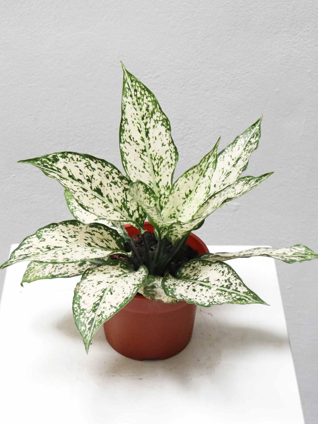 Aglaonema Spring Snow - Growcerys Shop