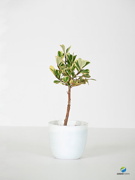 Variegated Triangle Ficus
