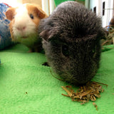 Two guinea pigs eating strawberry leaves. Strawberry Leaves, dried and organic, cut and sifted for rabbits, guinea pigs, chinchillas, hamsters, degus and gerbils.