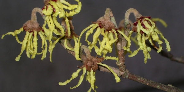 What Is Witch Hazel and Why Is It Used in Skincare Products for Men?