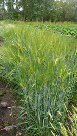 Load image into Gallery viewer, Barley (Hulled) - Hordeum Zeocrithon