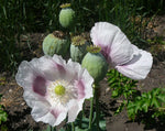 Load image into Gallery viewer, Poppy - Mary's