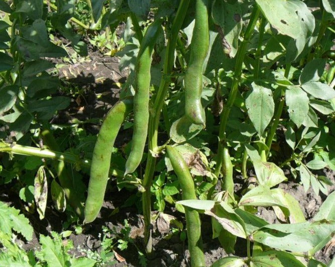 Broad Bean/Fava - Andy's Broad Bean