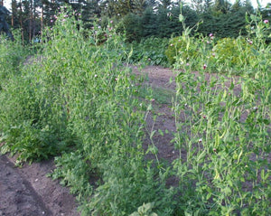 Snow Pea (Tall) - Bohemian