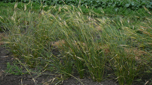 Wheat (Einkorn) - Blond