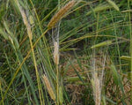Load image into Gallery viewer, Wheat (Einkorn) - Blond