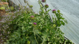 Silybum - St. Mary's Milk Thistle
