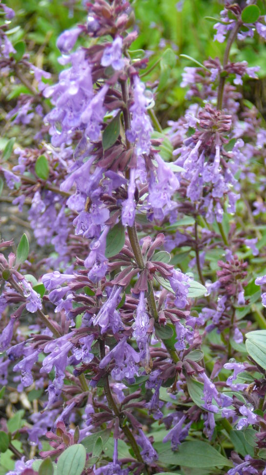 Nepeta - Catmint Blue Infinity