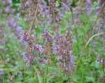 Load image into Gallery viewer, Nepeta - Catmint Blue Infinity