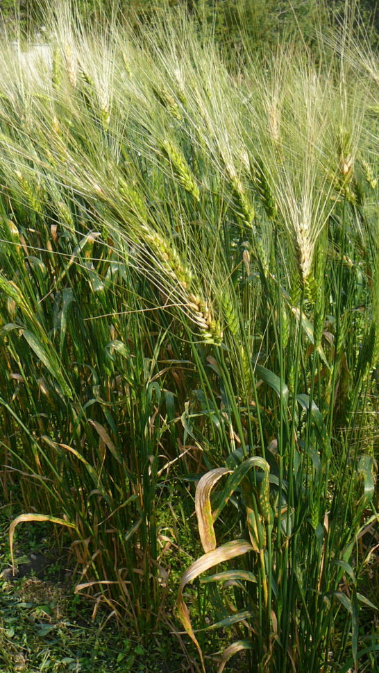 Wheat (Species) - T. Petropavlovskyi