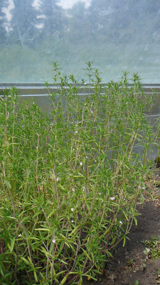 Herb - Summer Savory