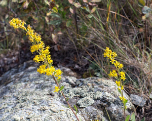 Solidago - Narrow Goldenrod