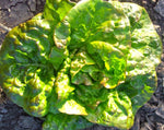 Load image into Gallery viewer, Lettuce (Butterhead) - Pirat