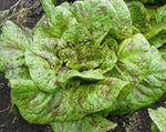 Load image into Gallery viewer, Lettuce (Romaine) - Forellenschluss