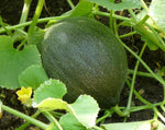 Load image into Gallery viewer, Melon - Kazakh Honeydew