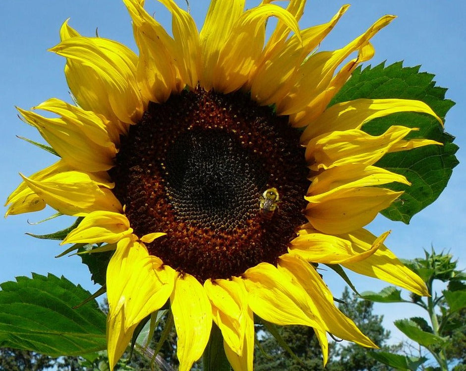 Sunflower - Russian