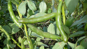 Broad Bean/Fava - Green Windsor