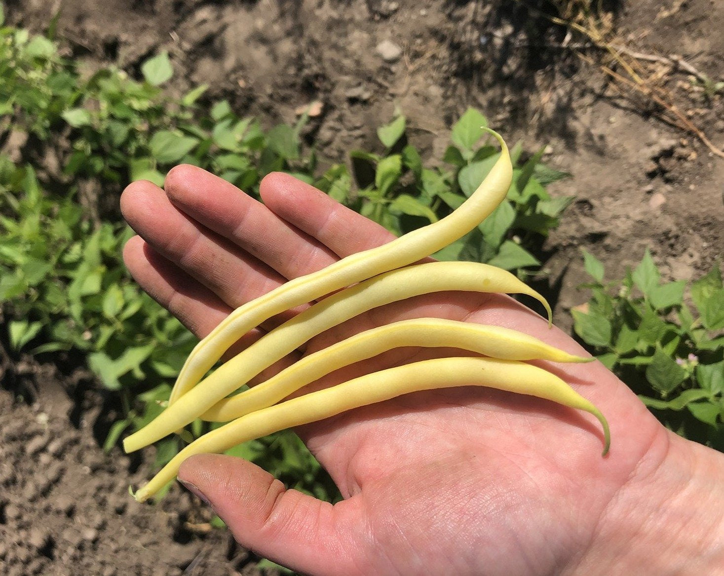 Yellow/Wax Bean (Bush) - Major