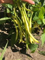 Load image into Gallery viewer, Yellow/Wax Bean (Bush) - Major