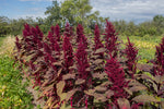 Load image into Gallery viewer, Amaranth - Burgundy