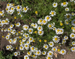 Load image into Gallery viewer, Matricaria (Chamomile) - German