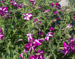 Load image into Gallery viewer, Petunia – Kentucky Old Fashioned